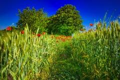 Gebied van groene tarwe met rode papavers royalty-vrije stock afbeelding