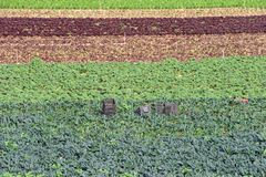 Gebied van groenten het groeien in rijen Stock Foto