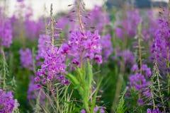 Gebied van heldere en kleurrijke purpere bloemen Stock Foto