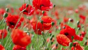 Gebied van het bloeien en het dansen in de windpapavers, Papavergebied ProRes 4 2 2 10bit stock video