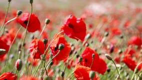 Gebied van het bloeien en het dansen in de windpapavers, Papavergebied ProRes 4 2 2 10bit stock footage
