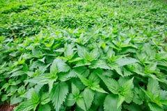 Gebied van het branden van netel met verse groene bladeren Struikgewas van med royalty-vrije stock foto