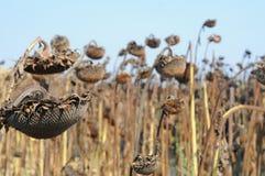 Gebied van het drogen van zonnebloemen in Toscanië, Italië Stock Foto