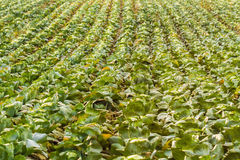 Gebied van het groeien cabbage Royalty-vrije Stock Afbeelding