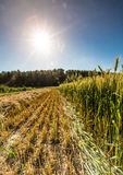 Gebied van het kweken van de tarwe Royalty-vrije Stock Afbeeldingen