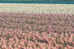Gebied van hyacint Stock Foto