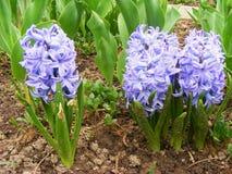 Gebied van hyacinten Royalty-vrije Stock Afbeeldingen