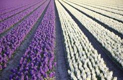 Gebied van hyacinten Stock Afbeeldingen
