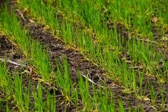 Gebied van jonge groene tarwe Royalty-vrije Stock Afbeeldingen