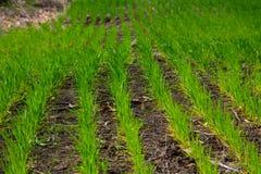 Gebied van jonge groene tarwe Royalty-vrije Stock Foto