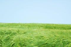 Gebied van jonge groene tarwe tegen blauwe hemel Stock Afbeelding