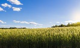 Gebied van jonge tarwe royalty-vrije stock afbeelding