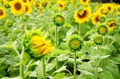 Gebied van jonge zonnebloemen Royalty-vrije Stock Afbeelding