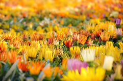 Gebied van kleurrijke bloemen Stock Afbeeldingen