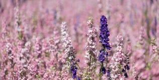 Gebied van kleurrijke die ridderspoorbloemen in rijen van kleur, op een bloemgebied worden geplant in Wiek, Pershore, Worcestersh royalty-vrije stock foto's