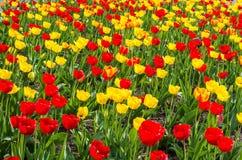 Gebied van kleurrijke tulpen in de Lente royalty-vrije stock afbeeldingen