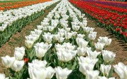 Gebied van kleurrijke tulpen in jammu en Kashmir royalty-vrije stock afbeelding