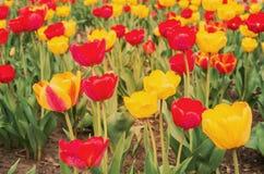 Gebied van kleurrijke tulpen in sunstelichten stock fotografie