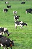 Gebied van koeien stock afbeeldingen