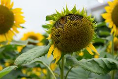 Gebied van langzaam verdwijnende zonnebloemen Royalty-vrije Stock Afbeeldingen
