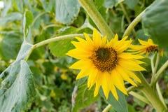 Gebied van langzaam verdwijnende zonnebloemen Stock Afbeeldingen