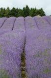 Gebied van lavendar Stock Fotografie