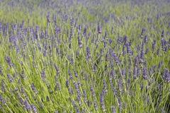 Gebied van lavendel 3 Stock Afbeeldingen