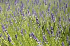 Gebied van lavendel Stock Afbeeldingen