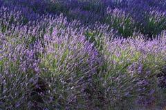 Gebied van lavendel Royalty-vrije Stock Afbeelding