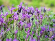Gebied van Lavendel Stock Foto