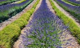 Gebied van lavendel Royalty-vrije Stock Foto's