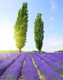 Gebied van lavendel met populierbomen royalty-vrije stock afbeelding