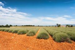 Gebied van lavendelbloesems Royalty-vrije Stock Afbeeldingen