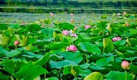 Gebied van lotuses Royalty-vrije Stock Afbeeldingen