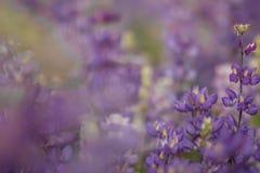 Gebied van lupine Royalty-vrije Stock Afbeelding