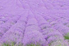 Gebied van mauve, purpere Lavandula-angustifolia, het meest mede lavendel, Royalty-vrije Stock Fotografie