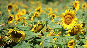 Gebied van mooie gele zonnebloemen in de zomer Royalty-vrije Stock Afbeeldingen