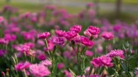 Gebied van mooie roze bloemblaadjes van de bloesem van de Anjerbloem op groene bladeren in een park, dat als Kruidnagelroze wordt royalty-vrije stock fotografie
