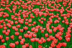 gebied van mooie roze tulpen stock foto
