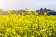 Gebied van mosterd in de vroege zomer, tijdens het bloeien periode Royalty-vrije Stock Afbeeldingen