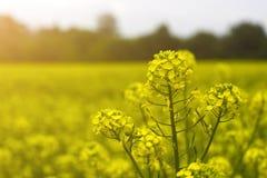Gebied van mosterd in de vroege zomer, tijdens het bloeien periode Royalty-vrije Stock Foto's