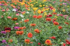 Gebied van multicolored gerberas Stock Afbeeldingen