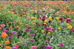 Gebied van multicolored gerberas Royalty-vrije Stock Foto