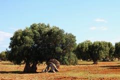 Gebied van olijfbomen Stock Afbeelding