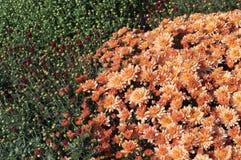 Gebied van open oranje en gesloten rode chrysanten Stock Foto