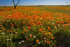 Gebied van oranje Namaqua-Podia in de lente royalty-vrije stock afbeeldingen