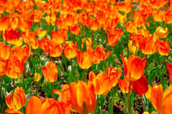 Gebied van oranje tulpen stock foto