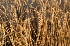 Gebied van oren van tarwe op een de zomeravond Stock Foto's
