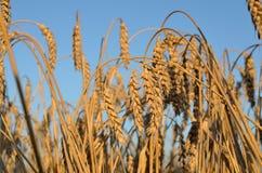 Gebied van oren van tarwe op een de zomeravond Royalty-vrije Stock Afbeeldingen