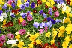 Gebied van pansies Royalty-vrije Stock Foto